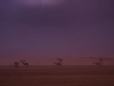 camels_sandstorm